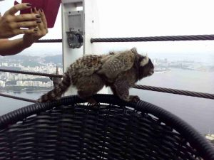 marmosets-and-tourist-at-the-sugarloaf
