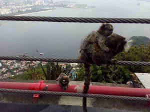 marmosets-at-the-sugarloaf